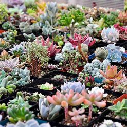 Queind 100pcs/ Bag Mixed Succulents Seeds Indoor Plants House Decorating Cacti & Succulents