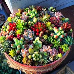 Mandii 100pcs/ Bag Mixed Succulents Seeds Indoor Plants House Decorating Cacti & Succulents