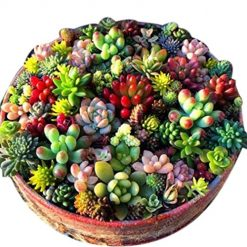 Morzar 100 Pcs Mixed Succulent Anti-Radiation Fleshy Seeds Potted Flower Cacti & Succulents